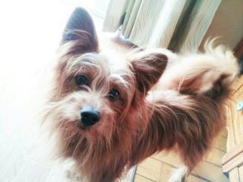 耳が痒すぎて、もがき苦しむ犬 Dog is suffering from itchy ears