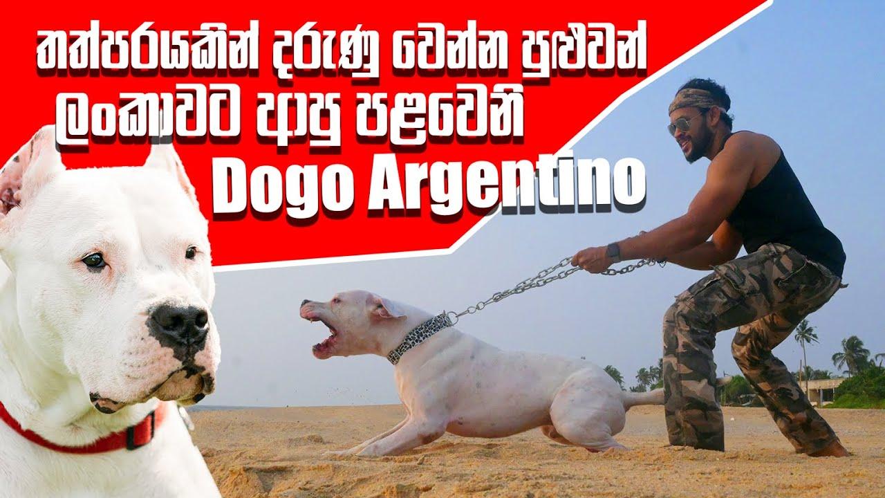 තත්පරයකින් දරුණු වෙන්න පුළුවන් ලංකාවට ආපු පළවෙනි Dogo Argentino | Pet Talk