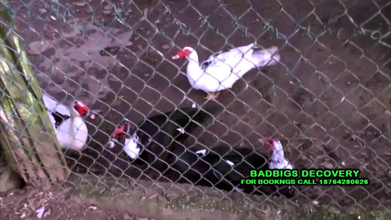 BEAUTIFUL BIRDS IN JAMAICA AT STRUAN CASTLE GARDEN STONY HILL KINGSTON DEC  18 2015