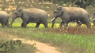 100 ELEPHANT IN SURGUJA FOREST