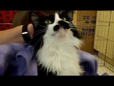Sammie -- gentle black-and-white long-haired cat {{ Adopted!! }}