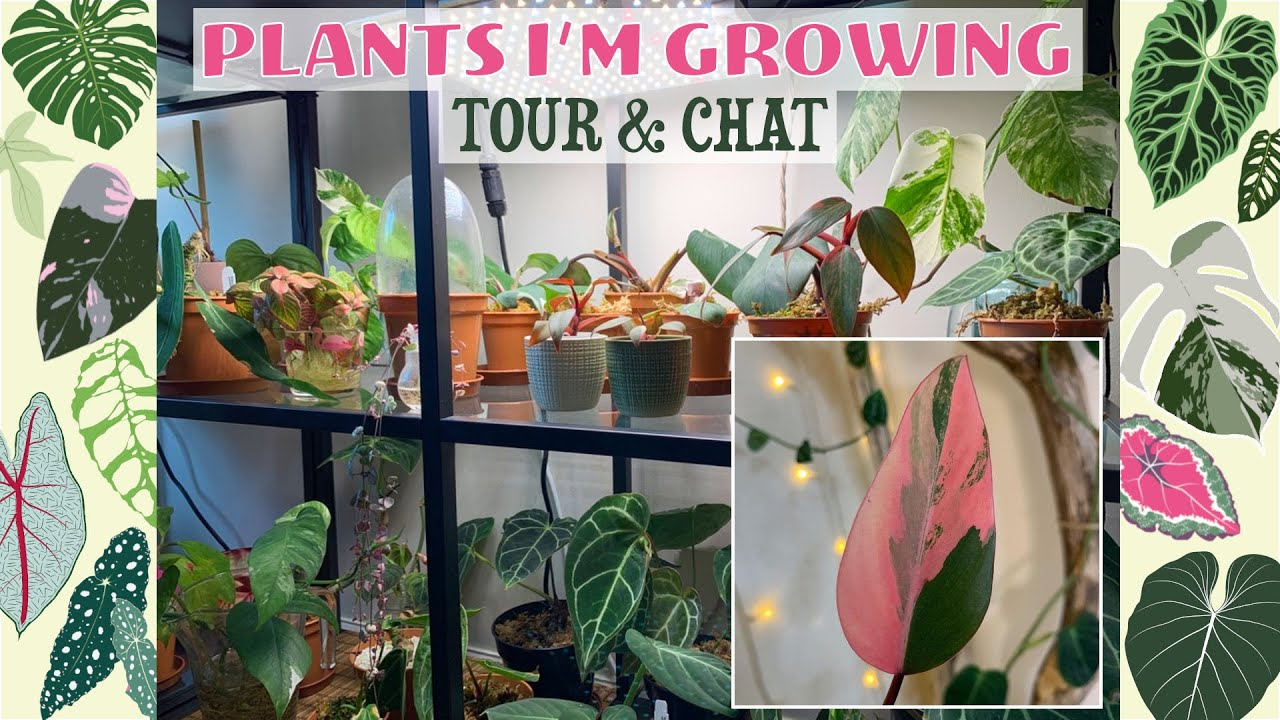 Plants I'm growing/Propagating 💚🌿 Philodendrons, Anthurium, Aglaonema, Monstera & more