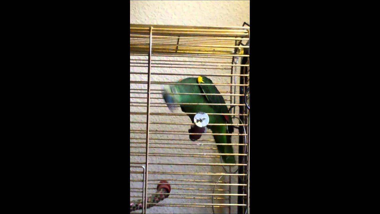 Bellender Papagei