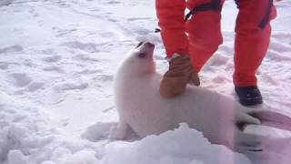 Video Baby seal squeals download MP3, 3GP, MP4, WEBM, AVI, FLV Juli 2018