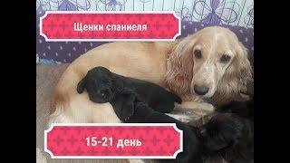 Щенки спаниеля 15- 21 день/ Соня и её смешные щеночки