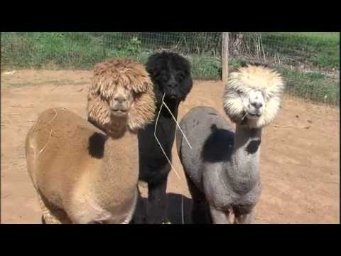 Illinois Stories | Prairie Rose Alpacas I WSEC-TV/PBS Springfield