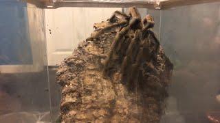 Live breeding attempt - Psalmopoeus cambridgei thumbnail