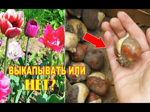Когда Выкапывать Луковицы Тюльпанов После Цветения в Открытом Грунте Важная Уборка на Созревание