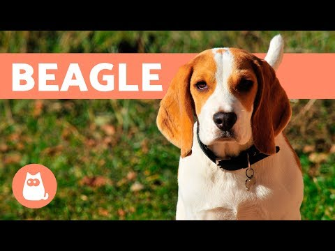 Beagle Dogs  History, characteristics and training