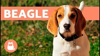 Beagle Dogs - History, characteristics and training