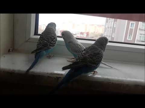 Muhabbet Kuşu  Bıdı Maviş