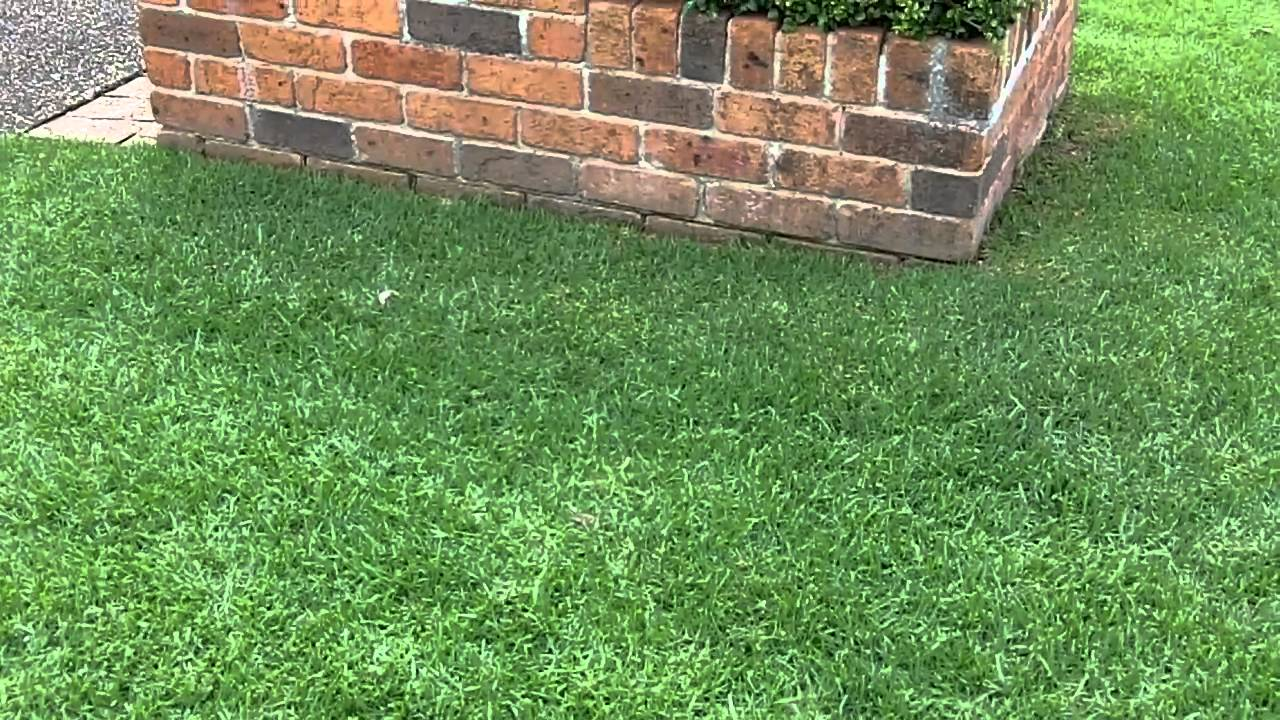 Kikuyu Lawn Care Lawn Greener Lawn Aerator What