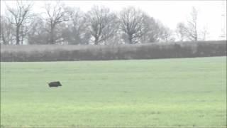 Images insolites d'un sanglier en fuite au milieu des grues, corbeaux et chevreuils