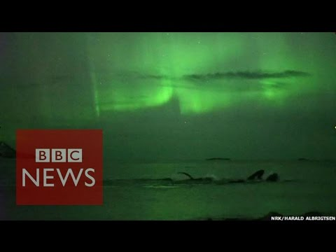 Whales play under the Northern Lights in Norway - BBC News