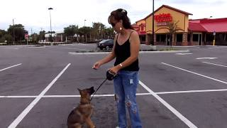 Puppy Training German Shepherd Puppy Andre 1st Time On Leash Flexi Lead