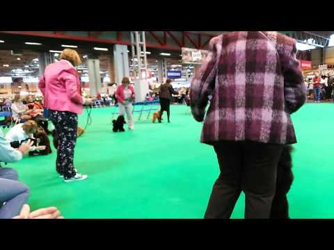 Crufts 2016 toy poodle 1