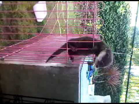 linsang ato monyet? @.@