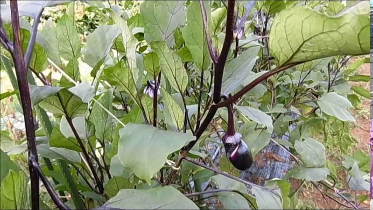 茄子 の 栽培 方法