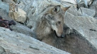 The Wolf: attach a deers' group. Il lupo: attacco ai cervi (canis lupus italicus)