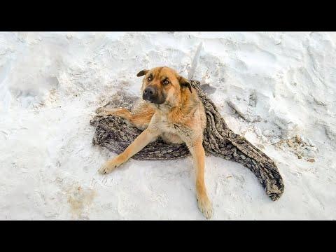 Сбитый Пес четыре дня ждал помощи Он вмерз в снег и его отдалбливали чтобы спасти