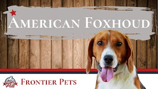 American Foxhound Breed Facts