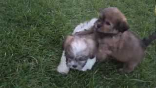 Teddybear = Shihtzu X Maltese Cross / Cute Puppies!