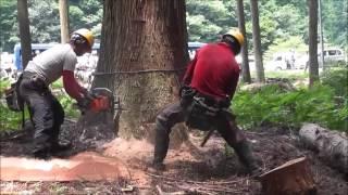 200年生吉野杉 伐採 特殊な伐り方解説字幕付き 奈良県吉野郡川上村