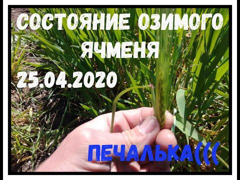 Озимый ячмень No till состояние на 25.04.2020