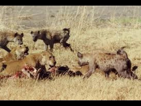 Brutal fight! THE BEST lion and hyena wars must watch this ...