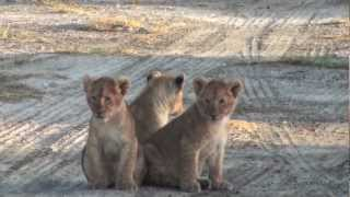 lion and 3 cubs after early morning kill in ndutu conservation area in serengeti