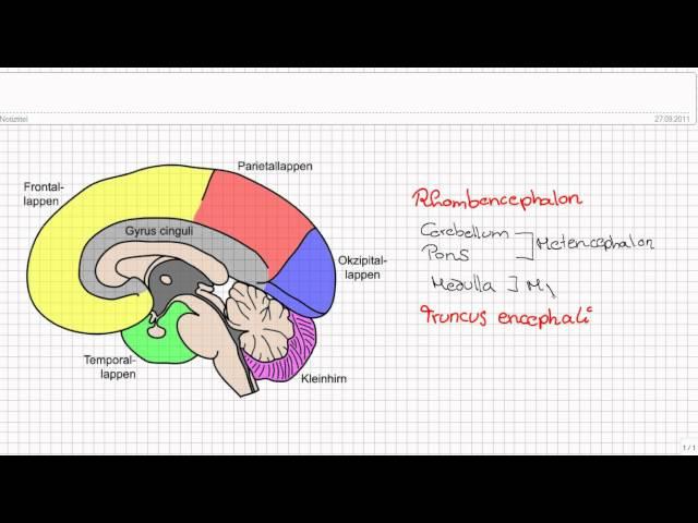 Einführung in die Neuroanatomie Teil 1 - Aufbau des Gehirns