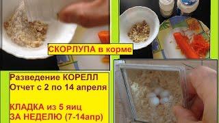Что едят кореллы когда появляются яйца. Отчет за 2 недели. Разведение корелл 3-й сезон.