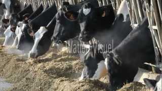 Vaches laitières Prim Holstein et ensilage de maïs 120223M085