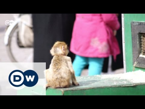 Morocco: Barbary macaques under threat | Global 3000