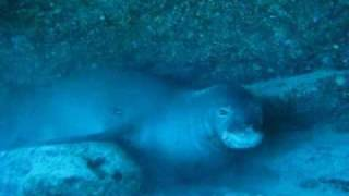 Monk Seal in Hawaii- The Hawaiian monk seal- Very rare !