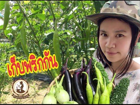 เก็บพริกเก็บผักงามๆ ปลูกผักกินเองในญี่ปุ่น EP.810