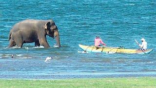 A giant Sri Lankan elephant crosses a beautiful human made tank