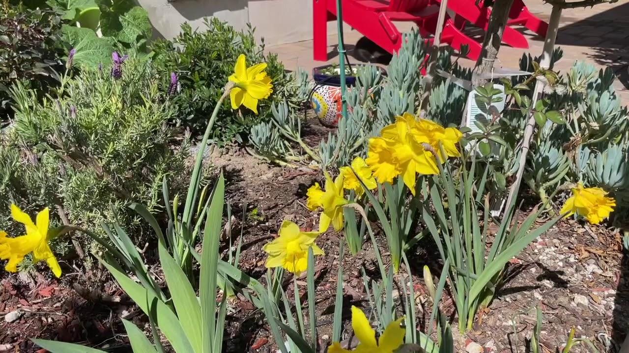 Daffodil Drifts