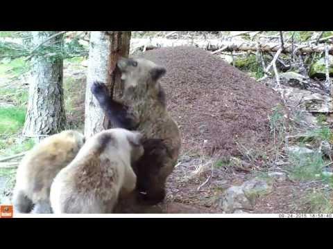 Et un, et deux, et trois oursons !