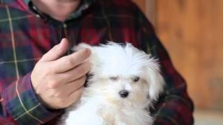 Maltese cinsi köpeklerin bakımı nasıl olmalı?
