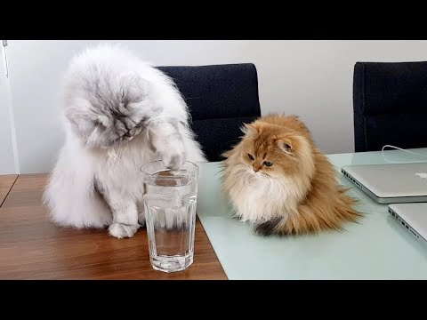 CATS VERSUS ICE CUBE | THE SEQUEL