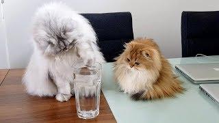 CATS VERSUS ICE CUBE   THE SEQUEL
