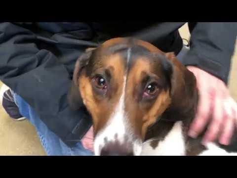 Best Dog Training in Columbus, Ohio! 3 Year Old Beagle, Jack Russel Mix, Theo!
