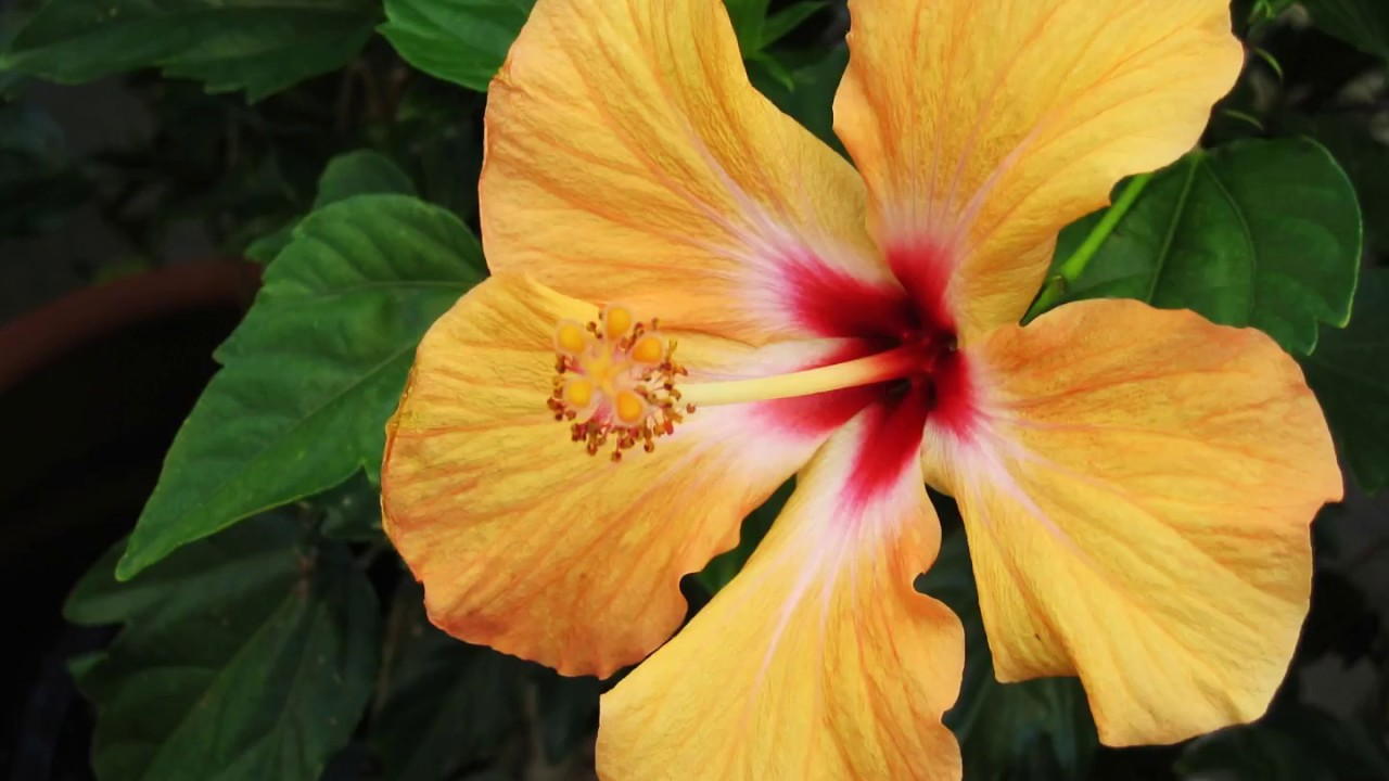 Interesting hibiscus facts youtube interesting hibiscus facts izmirmasajfo