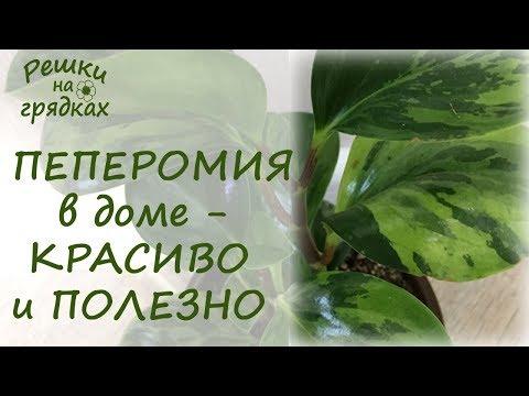 ПЕПЕРОМИЯ | Уход в домашних условиях | Сплошная польза