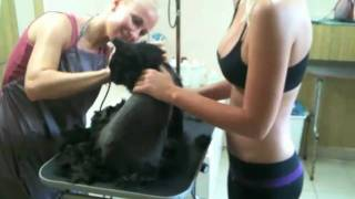 Стрижка кота или мой Французский Лев(, 2011-02-24T11:49:51.000Z)