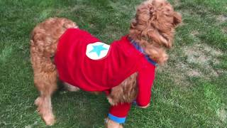 Funny Pet, Puppy, Dog in Halloween Costume - Love my Pet, Puppy in Halloween Costume