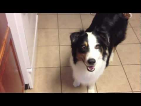 Australian Shepherd - 'ACE' - Service Dog in Training - mobility impaired assist/help