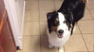 """Australian Shepherd - """"ace"""" - Service Dog In Training - Mobility Impaired Assist/help"""
