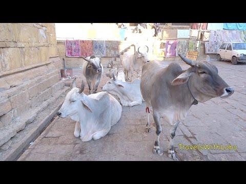 India - Jaisalmer - Life of Cows - Patwa Haveli